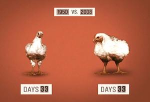 20100121-tows-chicken-300x205